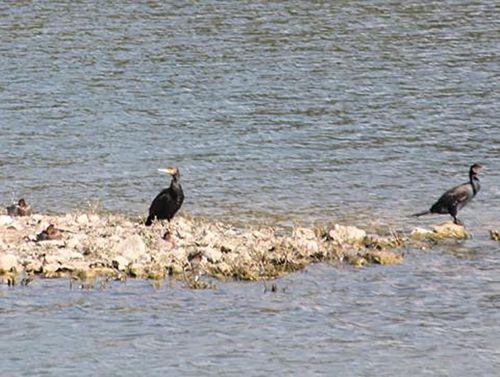 3 cormorans rec sorques 28 sept 2014.jpg