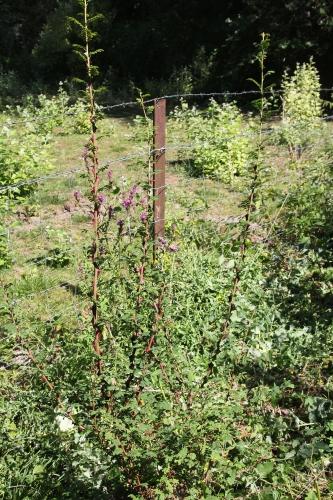 6 rosa pteracantha romi 2 août 2015 029 (1).jpg