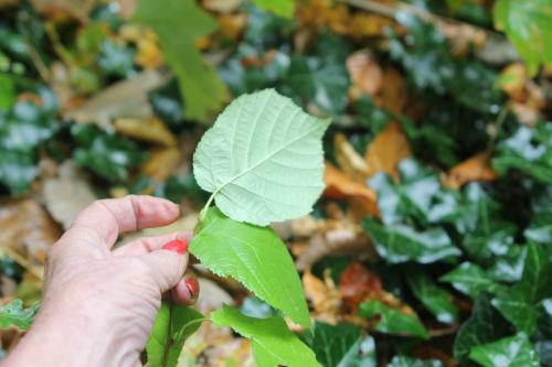 9 arborescens radiata 1 nov 2012 002.jpg