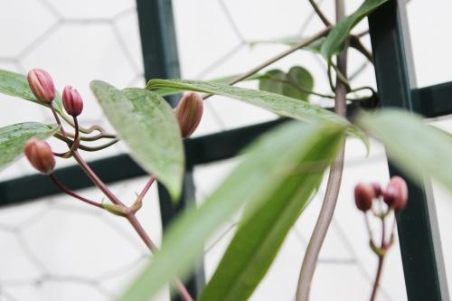 4 clematis apple blossom veneux 5 fev 2016 013 (1).jpg