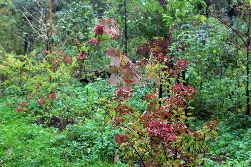 5 hydrangea romi 14 octobre 2013 024 (4).jpg
