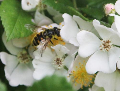 12 rosa multiflora romi 9 juin 2015 021 (14).jpg