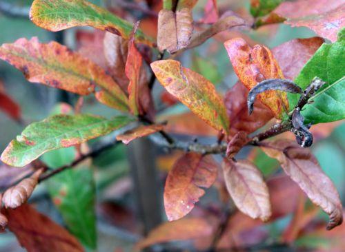 quercus oglethorpensis gb 21 oct 2012 363.jpg