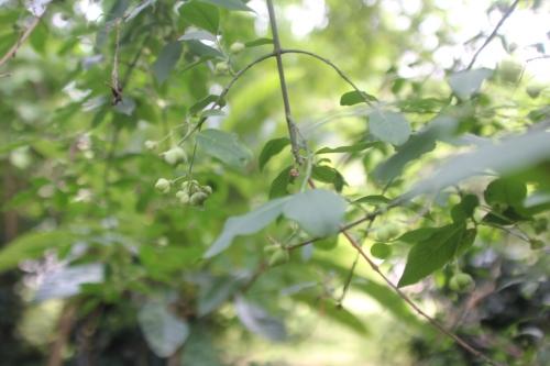 6 yponomeuta euonymus veneux 14 juin 2017 027 (6).jpg