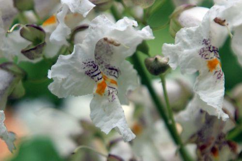 catalpa bignonioides barres 27 juillet 2013 113 (6).jpg