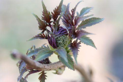 plumosa viridis 29 mars 057.jpg