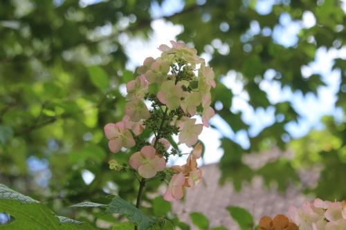 4 hydrangea quercifolia veneux 20 août 2016 011.jpg