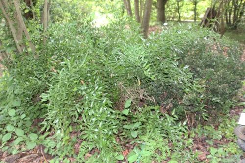 1 ruscus racemosus marnay 19 juil 2015 127.jpg