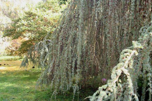 cedrus ag draperie arbofolia 9 oct 2010 090.jpg