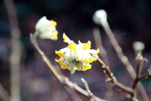 edgeworthia veneux 7 fev 2014 015 (1).jpg