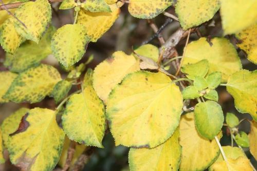 z hydrangea petiolaris veneux 22 oct 2015 002 (6).jpg