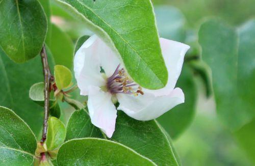 cydonia aromatnaya fleur romi 18 avril 2014 024.jpg