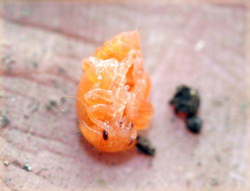 chryso larve 34 15 mai 059.jpg