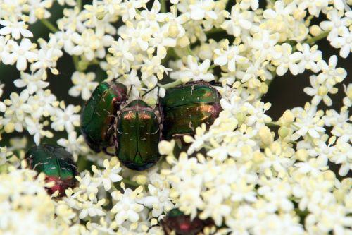 viridis cétoines romi 23 mai 066.jpg