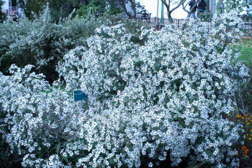 aster maculatus jardin des plantes 10 oct 029.jpg