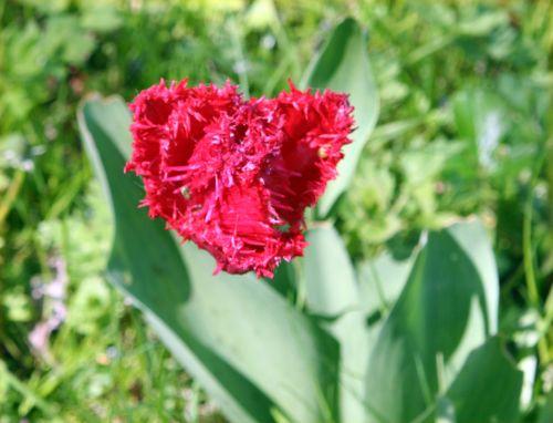 tulipe romi 2 mai 012.jpg