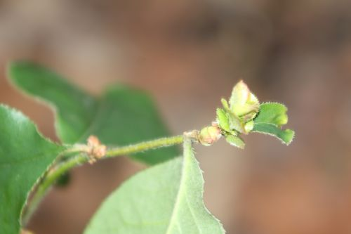 13 pseudocydonia veneux 28 fév 2013 012.jpg