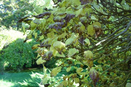 catalpa feuilles barres 11 oct 142.jpg