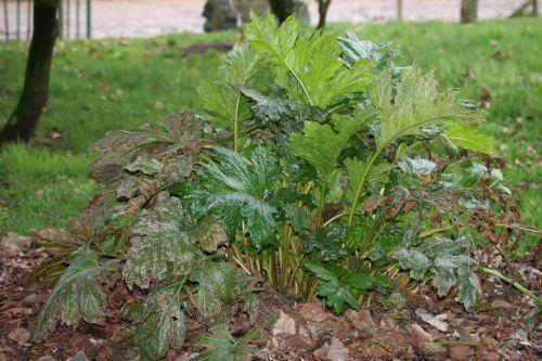 acanthus mollis 4 Paris 12 mars 012.jpg
