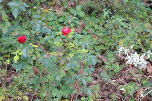 rosa romi 2 dec 2015 029.jpg