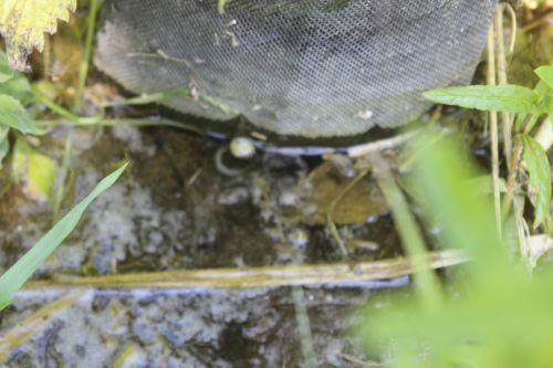 2 ziziphus li romi 5 juin 2013 044.jpg