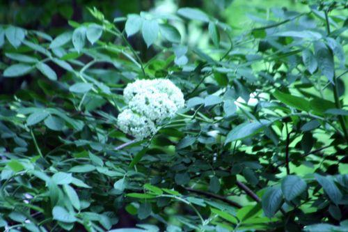 palmensis 27 mai 004.jpg
