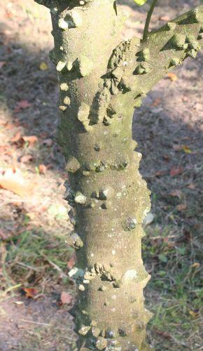 xanthophyllum piperitum 7 oct 015.jpg