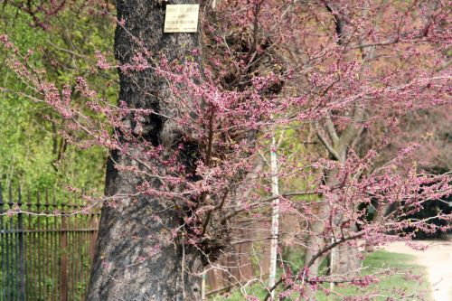 cercis sil paris 6 avril 181.jpg