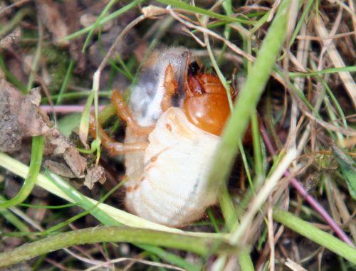 hanneton larve romi 22 juin 087.jpg