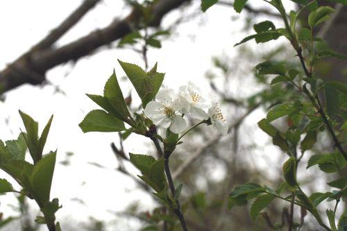 cerisier autre 18 avril 020 (84).jpg