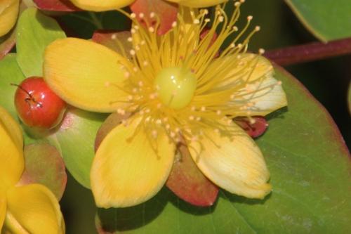 2 hypericum and fleur marnay 12 juin 2014 052 (3).jpg