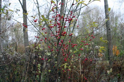 euonymus romi 5 nov 068.jpg