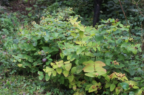1 hypericum and romi 24 sept 2015 021.jpg