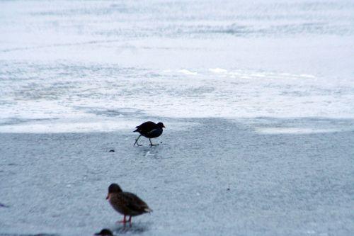 oiseaux poule neige 21 dec 012.jpg