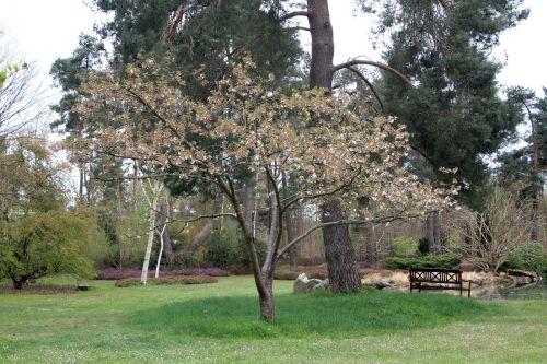prunus yedoensis gb 9 avril 2012 029 (4).jpg
