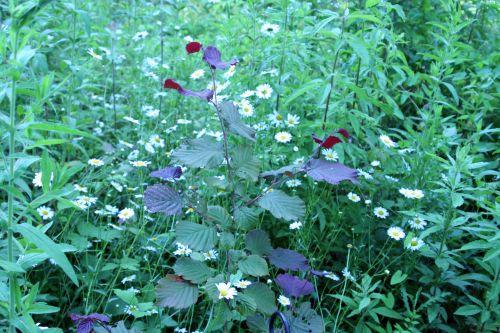 10 marguerites noisetier romi22 juin 2010 124.jpg