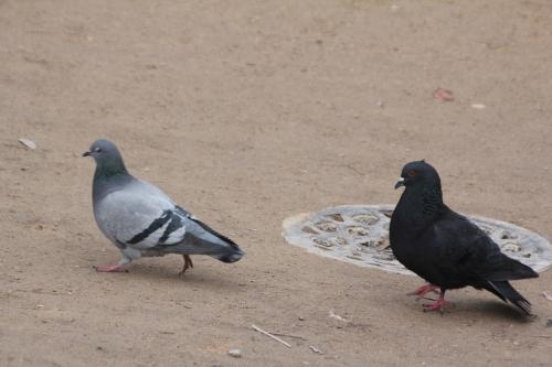 pigeons paris 10 fév 2015 001.jpg
