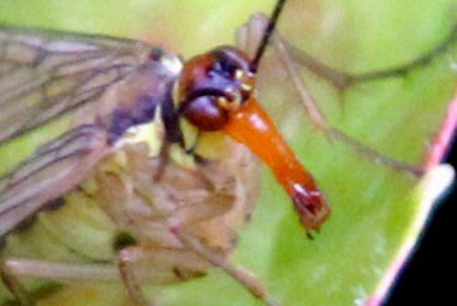 tête mouche scorpion romilly 16 juil 2012 309.jpg