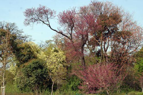 cercis yunnanensis 2 paris 6 avril 183.jpg