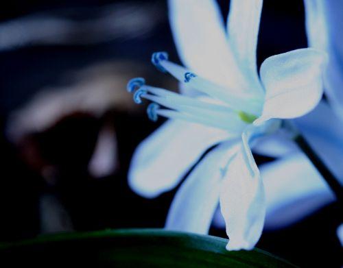 puschkinia fleur veneux 15 mars 015.jpg