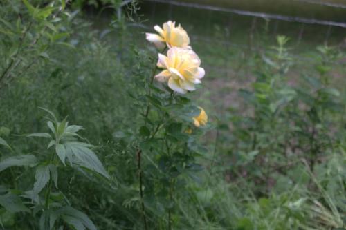 28 polyantha jaune romi 29 mai 2015 083.jpg