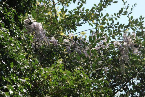 wisteria romi 20 avril 2014 003 (4).jpg