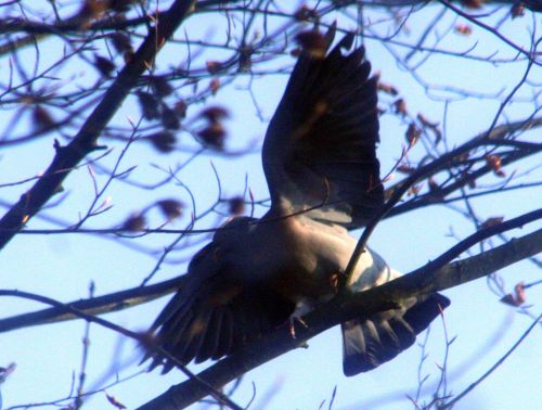 pigeon s'agite près 14 dec 006.jpg