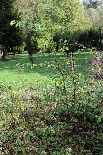 z1 pseudocydonia romi 17 oct 2013 034.jpg