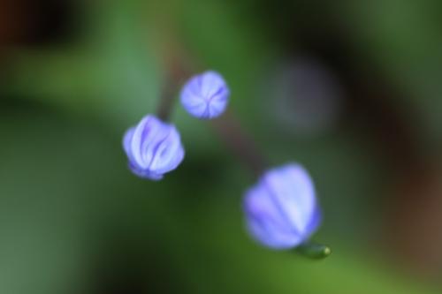 4 scilla bifolia veneux 24 fev 2016 023 (3).jpg
