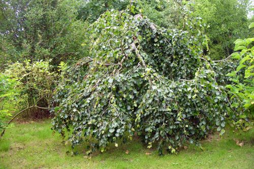 hêtre orchaise tortueux 11 août 2008 150.jpg