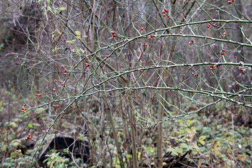 9 rosa canina romi 4 déc 2012 009 (2).jpg