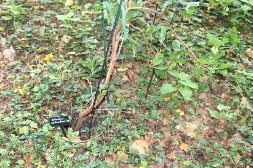 7 arbutus andrachnoides veneux 5 oct 2015 001 (2).jpg