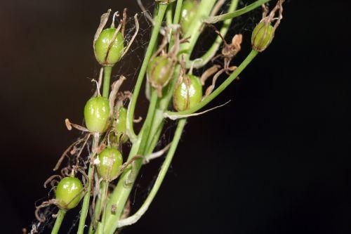 asphodèle fruits 21 juin 2010 014.jpg