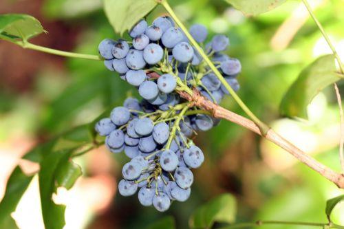 mahonia fruits veneux 17 juillet 2007.jpg